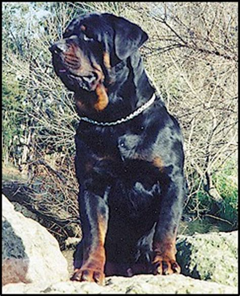 250 lb rottweiler fran s rottweilers website raising rottweilers for 14 years as they were during the