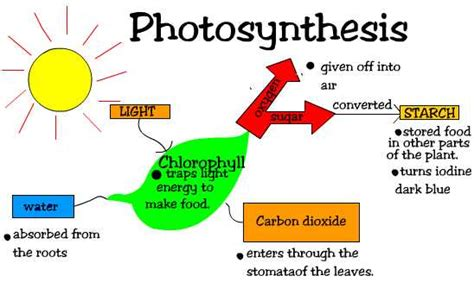 Plants That Require Little Sun by Little Butterfly Notes Photosynthesis