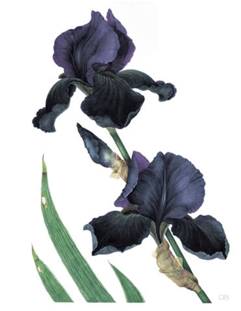 black iris watercolour by christine stephenson
