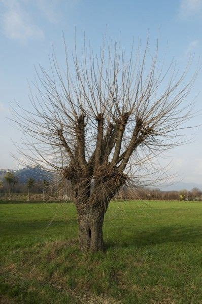 Tree Trimming Ideas 25 Best Ideas About Tree Pruning On Tree