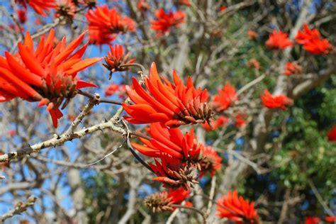 erythrina lysistemon   species  deciduous tree