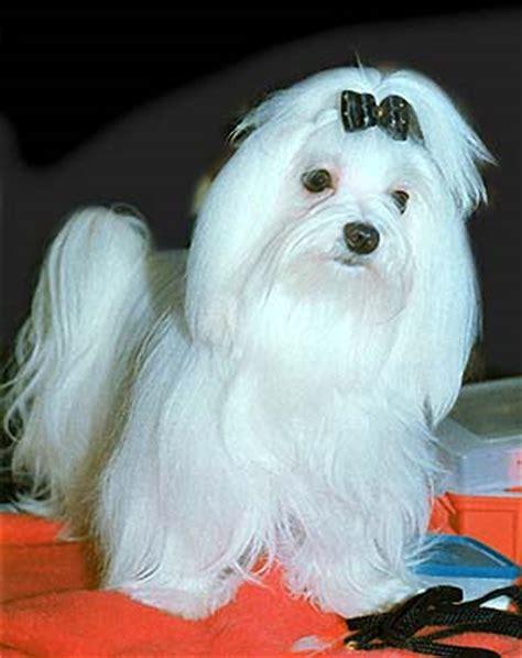 havanese potty problems maltese cross shitzu maltese mix puppies for sale uk gt gt lhasa maltese