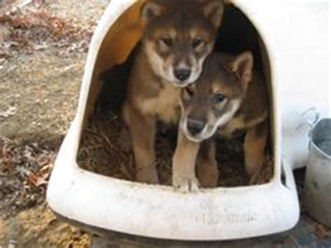 shikoku puppies for sale 1000 images about puppy wishlist breeds american favorites on