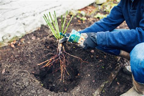 how to plant a bare root climbing rose advice inspiration