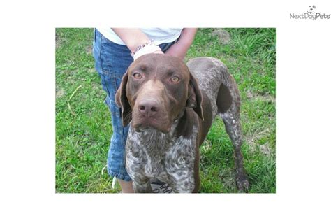 german shorthaired pointer puppies price german shorthaired pointer puppy for sale near vermont c9a7faf8 52a1