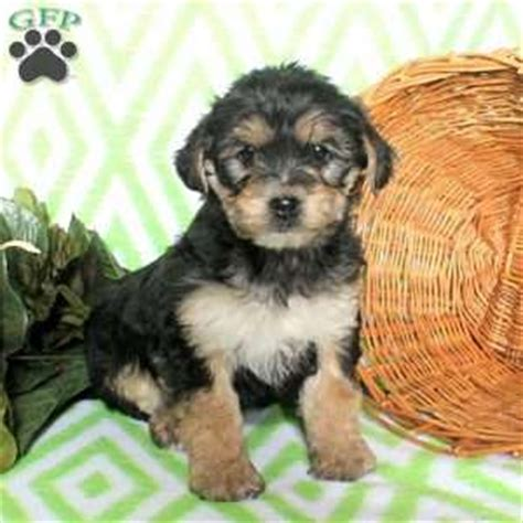 yorkie puppies lancaster pa yorkie mix puppies for sale in de md ny nj philly dc and baltimore