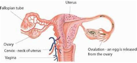 Womb Shedding by 100 Shedding Uterine Lining While