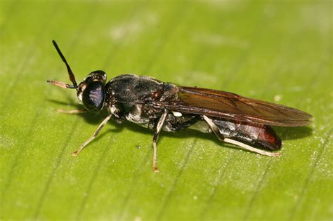 black soldier fly update on the black soldier fly project nourish the planet