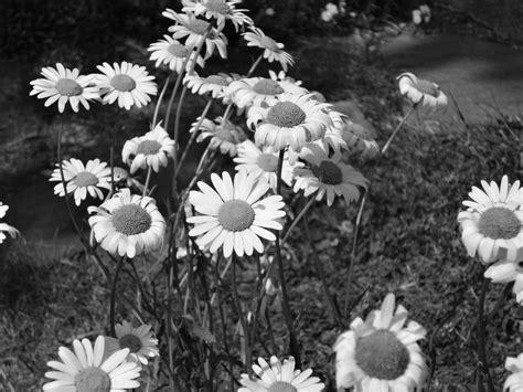imagen blanco y negro en indesign foto gratis flor margarita en blanco y negro imagen