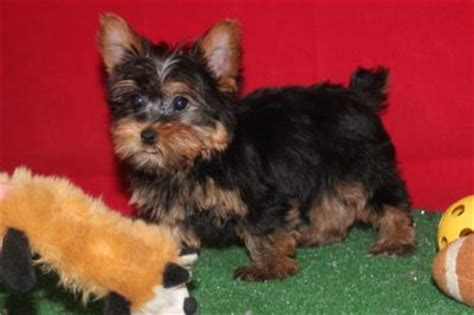 yorkies for sale in gainesville fl pin teacup yorkie puppies for sale in gainesville fl on
