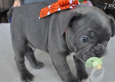 blue bulldog puppies for sale best 20 blue bulldogs ideas on blue bulldog puppies
