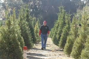 georgia christmas tree farm thrives in the land of palms