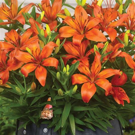 matrix asiatic patio lily b 245 tanus care inspire grow