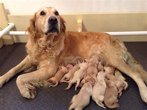 golden retriever dogs for sale kc golden retriever puppies for sale shrewsbury
