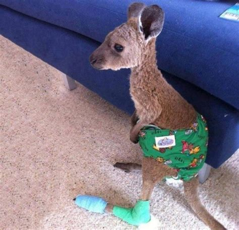 saves from kangaroo baby kangaroo in a after being saved from a forest trending on reddit