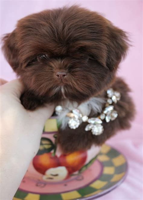 teacup imperial shih tzu puppies for sale imperial shih tzu puppies for sale by teacups puppies