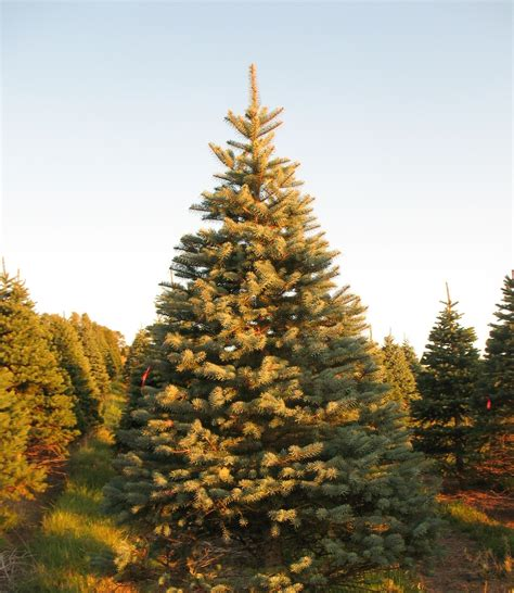 best 28 blue spruce christmas tree care untitled 7