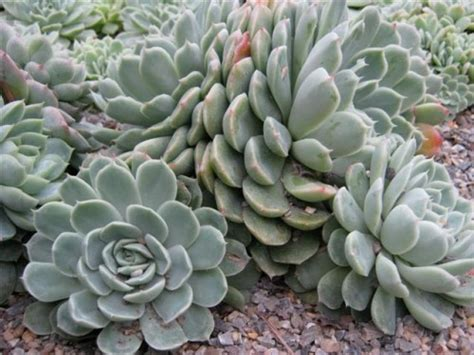 succulents meaning definition of succulent botanical dictionary