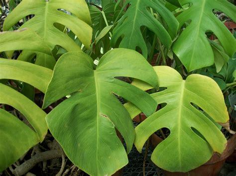 tropical foliage plants identification plants melitasart inspiration