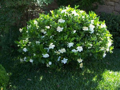 Gardenia Bush Care The Gardenia Care And Varieties The Planting Tree