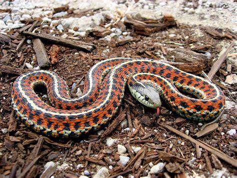 types of garden snakes garter snake