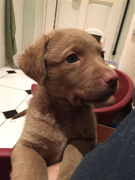 chesapeake bay retriever puppies for sale chesapeake bay retriever puppies ilkley west pets4homes