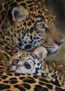 Jaguar Child Sleep Safe One Valerio A Jaguar Cub Rests On