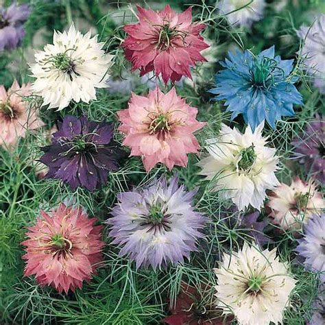 love in a mist seeds nigella annual flower seeds