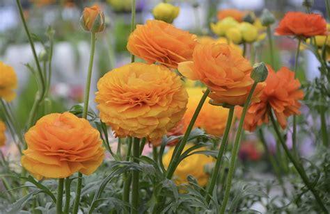 ranuncolo fiore ranuncolo coltivazione fioritura significato e curiosit 224