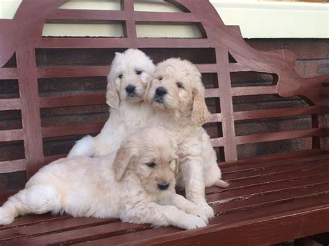 apricot golden retriever stunning litter of apricot goldendoodles ebbw vale blaenau gwent pets4homes