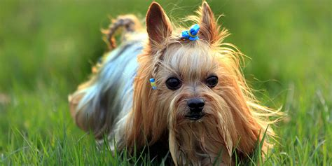 average lifespan of a yorkie terrier information characteristics facts names