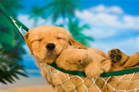 golden retriever puppy sleeping habits sleep habits archives diane chamberlain