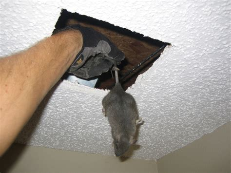 rats in ceiling dead animal photograph 016 sometimes i to cut dead