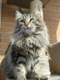 costo gatti persiani dedicato ai gatti norvegesi e certosini