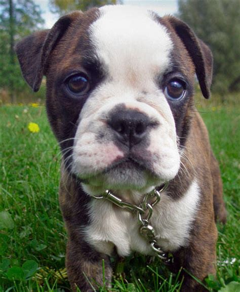 boston terrier bulldog mix puppies for sale minion the boston terrier bulldog pictures 10046