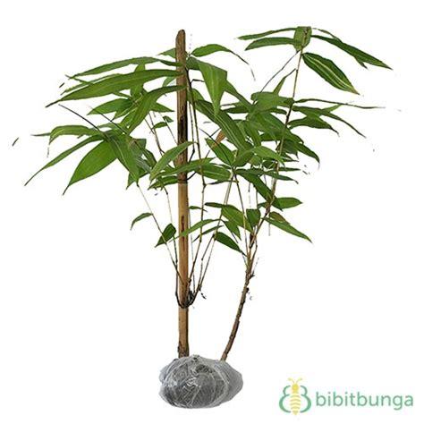 Bibit Bambu Kuning tanaman bambu buddha s belly bibitbunga