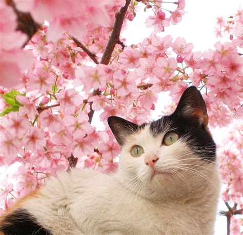 wallpaper japanese cat japanese cherry blossoms wallpaper beautiful flowers