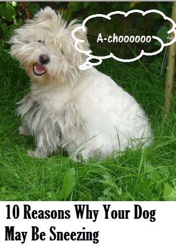 what causes sneezing in dogs reasons why your is sneezing daily discoveries