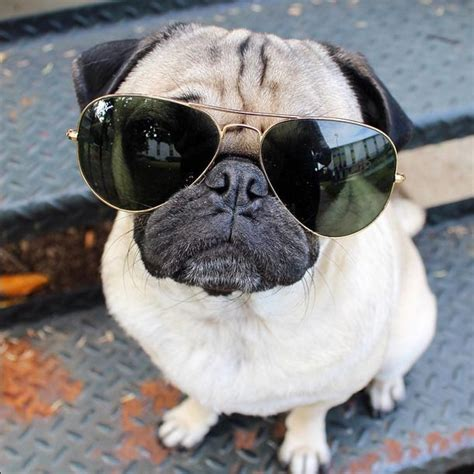 doug the pug the most popular pug in the world doug pets pet