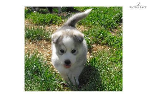 husky puppies nj random photos rescue siberian husky puppies white quoteko