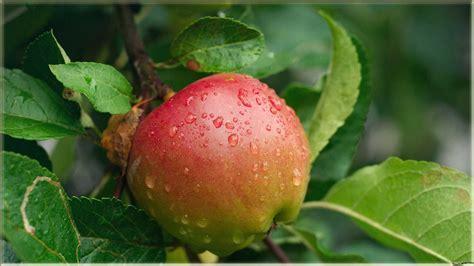 gambar wallpaper bunga segar download 15 wallpaper buah apel kualitas hd www buahaz com