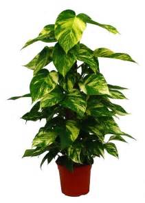 Winter Climbing Plants - scindapsus aureus bomets