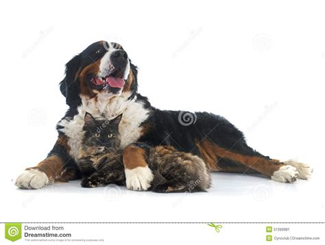 bernese mountain maine maine coon cat and bernese mountain stock photo image 51269981
