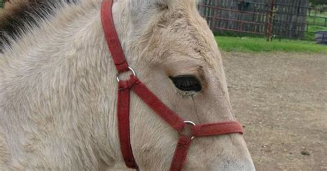 fjord mule norwegian fjord mule mix horses ponies donkeys