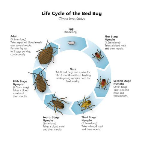 bed bug reproduction rate bed bug wall or baseboard bed bug registry database