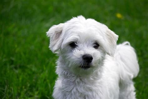 list of hypoallergenic dogs hypoallergenic dogs breeds for with allergies breeds picture