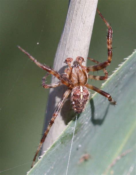 Garden Spider Spot Garden Spider Araneus Diadematus Naturespot