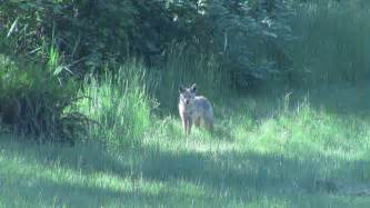 coyote in the backyard by mogieg123 on deviantart