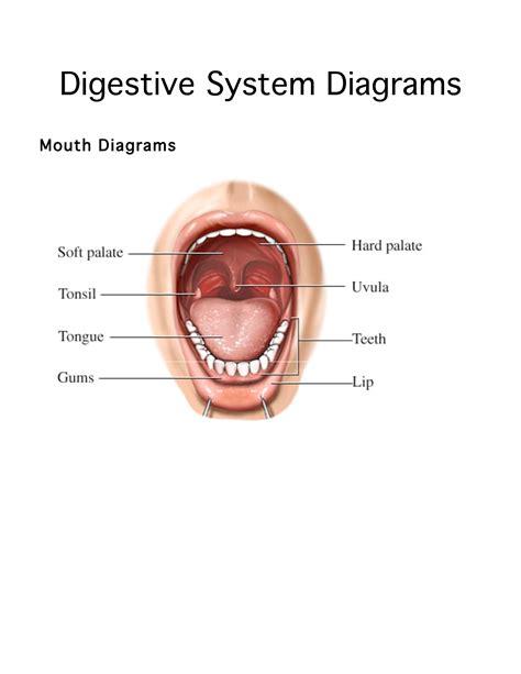 diagram of salivary glands human digestive system diagram digestive system diagrams