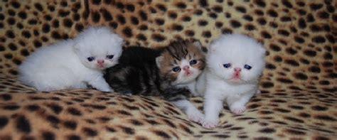 persiani esotici cuccioli regnodiaslan